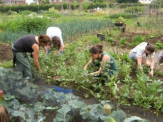 Some people harvesting broad beans in an allotment